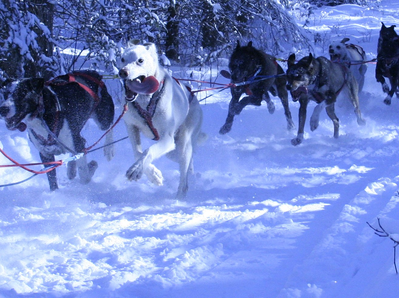 Sled dog races